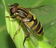 female Helophilus fasciatus syrphid fly