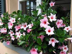 Dipladenia ist eine robuste, pflegeleichte Pflanze, die sich hervorragend für Gefässe eignet