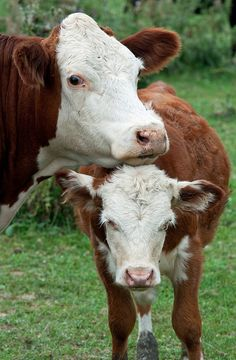 Mama cow looks a little bit like Brian's Cinnamon
