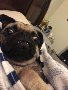 Animals And Pets, Funny Animals, Cute Animals, Carlin, Funny Pugs, Pug Puppies, Pug Love, Hedgehogs, Funny Animal Pictures