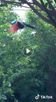 Animals And Pets, Baby Animals, Funny Animals, Cute Animals, Beautiful Birds, Animals Beautiful, Peacock Flying, Peacock Bird, Vogel Gif