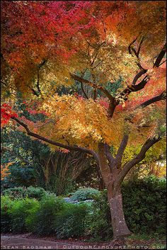 Japanese Garden - ash trees such as Claret Ash will be fast growing and give good shade and colour