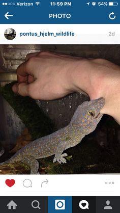 Ahhhh tokay geckos