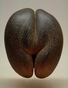 Coco de Mer (Lodoicea maldivica) - Natural. 35cm Tall x 30cm Wide. Seychelles.