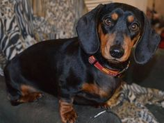 Miss Jessa (via Simply Dachshund) Dachshund Love, All Dogs, Dog Lovers, Puppies, Pets, Weiner Dogs, French Bulldogs, Hot Dog, Dachshunds