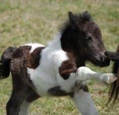 Aww a miniature foal :)