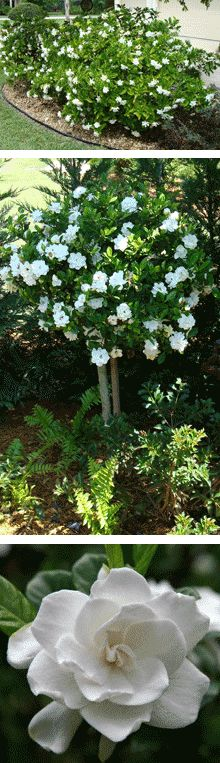 Gardenia are a wonderful smell to have in your yard. Pick the blooms and put in a bowl for a fresh sent.