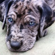Astounding 120+ Great Dane https://meowlogy.com/2017/04/02/120-great-dane/ If you suspect your dog is experiencing bloat, get it to your vet after possible. Your dog may begin whining when you get started getting ready for wo...