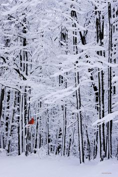 Tranquil forest snow scene with red cardinal Toni Kami Joyeux Noël Winter photography idea