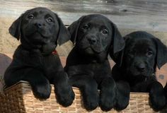cute black lab puppies