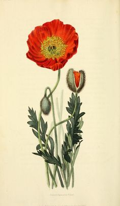 Scarlet Naked-stalked Poppy (Papaver nudicaule β coccinea) From Flora conspicua by Richard Morris, drawn and engraved by William Clark. London, 1826