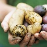 Annabel Langbein the Free Range Cook. Freshly harvested potatoes. http://www.annabel-langbein.com/