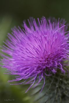 Scottish thistle - after the flower is gone - the thorns form