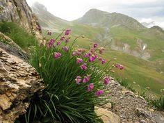 Résultats de recherche d'images pour « Allium narcissiflorum »