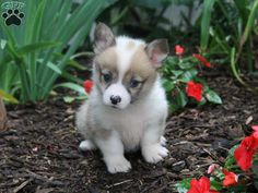 Lilly, a sweet little Welsh Corgi puppy for sale in Sugar Creek, OH
