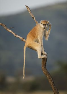 The Patas Monkey (Erythrocebus patas), also known as the Wadi monkey or Hussar monkey, is a ground-dwelling monkey distributed over semi-arid areas of West Africa, and into East Africa. It is the only species classified in the genus Erythrocebus.