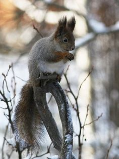 Oravan talvi, Finnish squirrels get greyish for the winter, in summer they are brown Finland, Nature, Animals, Squirrels, Brown, Summer, Pray, Peda, Pictures