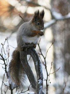 Oravan talvi, Finnish squirrels get greyish for the winter, in summer they are brown Finland, Nature, Animals, Squirrels, Brown, Pray, Peda, Pictures, Chipmunks