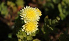 Sarı Kasımpatı / Yellow Chrysanthemum  Photo By www.nesedentarifler.com