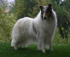 White Collie