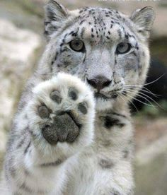 Snow Leopard, sickening ta think these beautiful cats have been hunted to near extinction! Nature Animals, Animals And Pets, Baby Animals, Funny Animals, Cute Animals, Wild Animals, Beautiful Cats, Animals Beautiful, Gato Grande