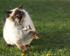 Fluffy Siamese cat playing with a mouse