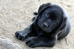 black lab puppy ♥ holy crap this is the cutest ever!
