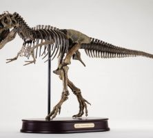 tyrannosaurus rex replica skeleton