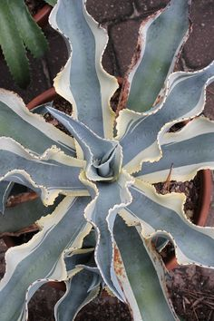 Agave gypsophila 'Ivory Curls', Century Plant, Agave Ivory Curls, buy Agave Ivory Curls for sale, buy Century Plant for sale
