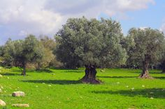 An olive grove makes for the greenest landscape imaginable.