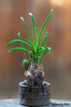 """Ledebouria crispa, 1"""" pot, by Keith Kitoi Taylor"""