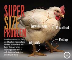 Super-size problem: Americans' demand for cheap meat has forced factory-farm broiler chickens t