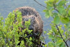Many beavers live in our ponds.