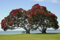 Pohutukawa trees at Cornwallis Beach West Auckland