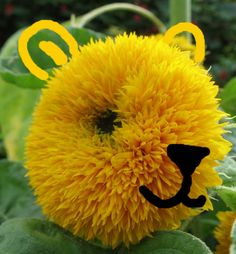 This is my favourite flower. It is a Teddy Bear sunflower from a special packet of seeds. It grows small but the flowers are as big as a saucer. Via. yellow-teddy.