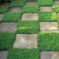 Path to a garden Rupturewort Green Carpet Ground Cover Seeds (Herniaria Glabra) - Under The Sun Seeds - 2 Ground Cover Seeds, Low Growing Ground Cover, Full Sun Ground Cover, Verge, Green Carpet, Front Yard Landscaping, Landscaping Ideas, Mulch Landscaping, Modern Landscaping