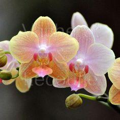 Phalaenopsis 'Willemstadt'