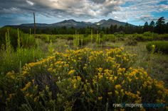 Blooming Wildflowers in Bonito Park foreground the San Francisco Peaks near Flagstaff, Arizona. Flagstaff Arizona, Wildflowers, New Work, Landscape Photography, San Francisco, Bloom, Mountains, Park, Nature