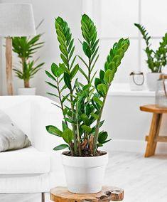 Plante ZZ (Zamioculcas)