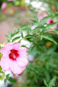 Tropical hibiscus flower Photos Tropical hibiscus flower by Kay English
