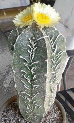 Astrophytum myriostigma cv. haku-jo hanya fukuryu