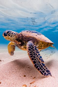 Celebrate World Turtle Day with Ocean's! Learn how you can help out the world's remaining turtles on World Turtle Day, and every day. Beautiful Sea Creatures, Animals Beautiful, All Animals Pictures, Sea Turtle Wallpaper, Sea Turtle Pictures, World Turtle Day, Cute Turtles, Sea Turtles, Underwater Animals