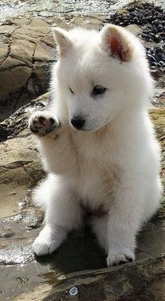 Dog Breeds Little .Dog Breeds Little Beautiful Wolves, Beautiful Dogs, Animals Beautiful, Cute Funny Animals, Cute Baby Animals, Cute Dogs, Wild Animals, Wolf Photos, Wolf Pictures