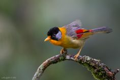Silver-eared Mesia (Leiothrix argentauris) - Photo by Phoo (mallardg500) Chan on 500px