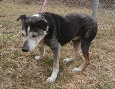 VERY URGENT!!! SENIOR!! (bs)  This sweet old girl needs out ASAP! There are donation pledged and offers to drive this girl to a rescue. Please let's try to get her to a warm loving home now! She is a real sweetheart!    Lawrence County Dog Shelter  1302 Adams Lane  Ironton, OH 45638  740-533-1736  https://www.facebook.com/photo.php?fbid=434225199989144=a.374857835925881.85396.374850175926647=1=nf