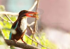 White throated kingfisher caught crab