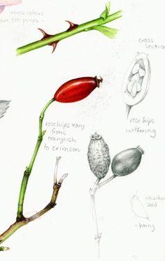 Lizzie harper botanical illustration of a dog rose hip Garden Journal, Nature Journal, Watercolor Sketchbook, Art Sketchbook, Plant Illustration, Graphic Design Illustration, Botanical Flowers, Botanical Prints, Polychromos