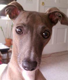 italian greyhound | Italian Greyhound Face