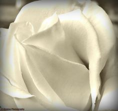 Rose - B & W - 11 - Ajaytao