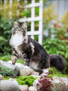 """Maine Coon cat """"Tilda"""" by Ludmila Pankova tessa. Cute Cats And Kittens, Cool Cats, Kittens Cutest, Pretty Cats, Beautiful Cats, Cat Anatomy, Cat Pose, Norwegian Forest Cat, Maine Coon Cats"""